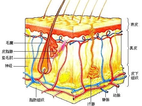 皮肤解剖结构模式图
